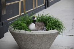 goose in a planter