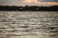 Loch Ness duck?
