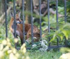 5 fox