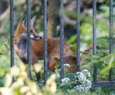 6 fox