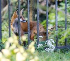 7 fox