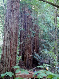 Big Trees, Redwoods, notice the little man