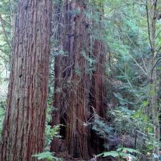 Big Trees, Redwoods, notice the little man