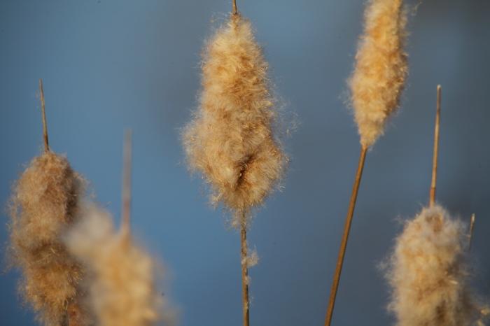 Lovely fluffy Cattails