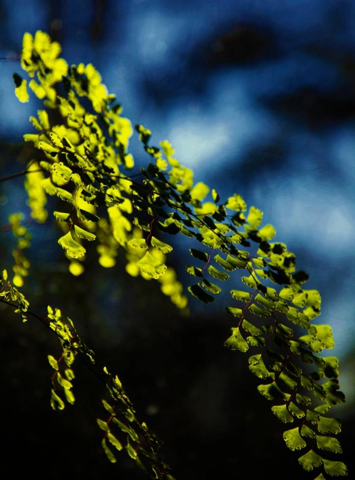 maiden fern