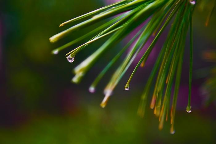 pine needle drops