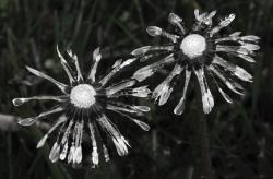 wet dandies