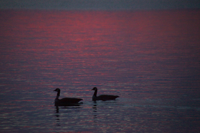 2 geese enjoying the sunset