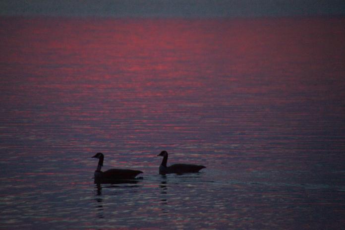 2 geese enjoying the sunset