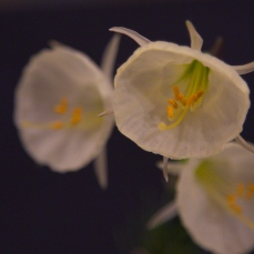 daffodil 5