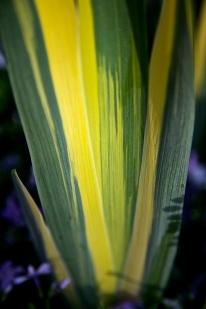 Variegated Iris