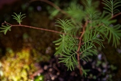My favorite tree seedling, grew from a deposit. I think it is a Dawn Redwood. I know it is a deciduous conifer. My baby. ;-)