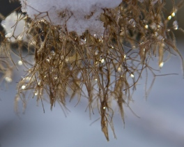 smoke tree in snow