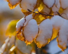 tricolor beech in snow