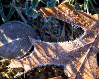 more frosty leaves