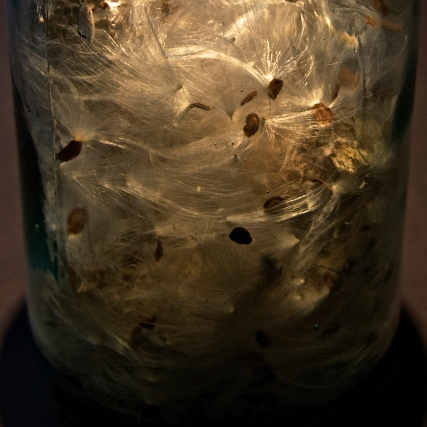 milkweed seeds in a bottle